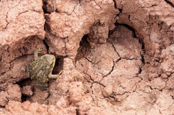 Crapaud du désert