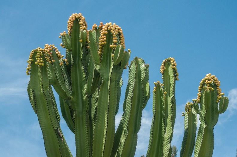 huaraz cactus