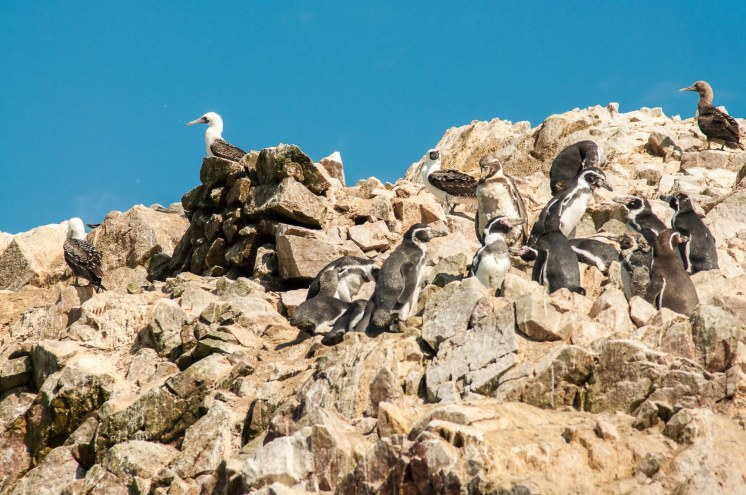 Pingouins et fous