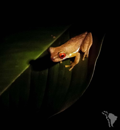 Grenouille monteverde biodiversité costa rica