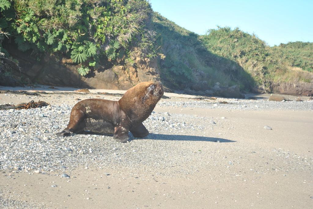 loup de mer chiloé