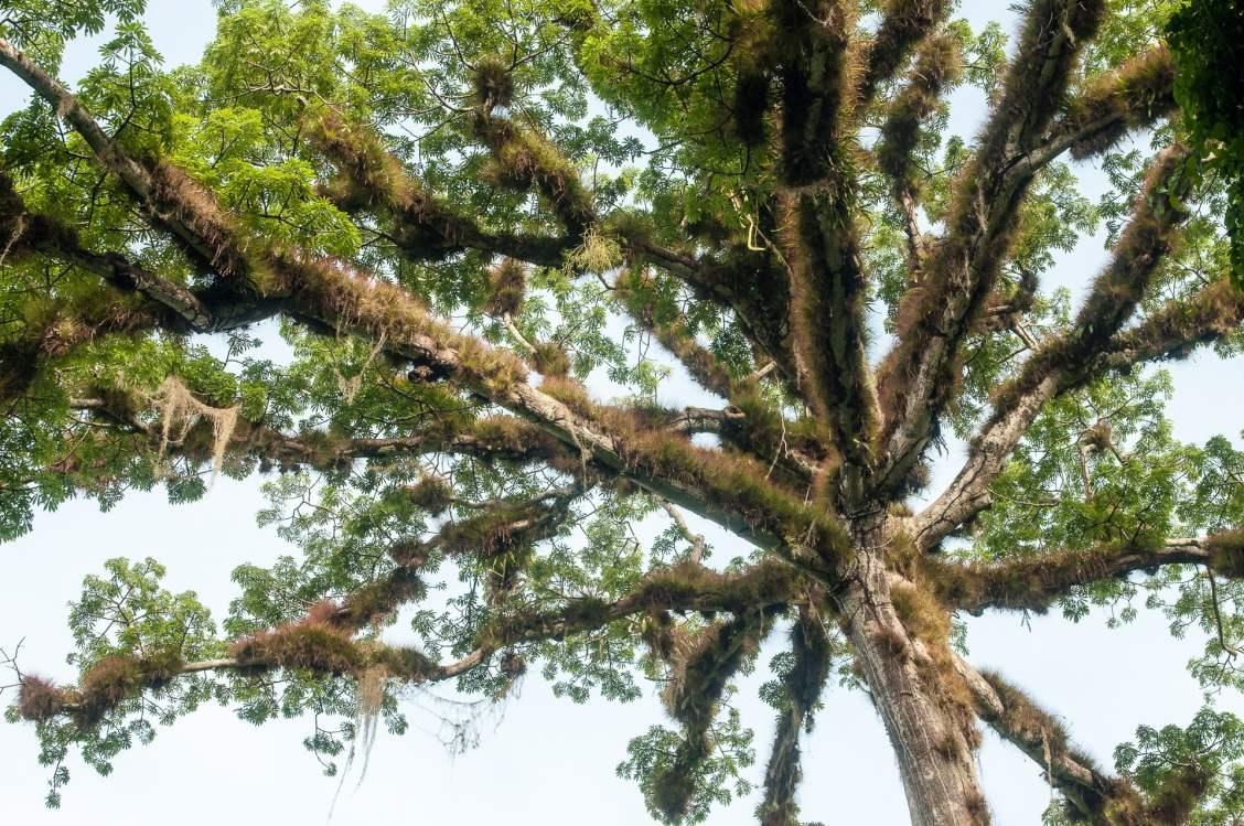 Arbre poilu à tikal cité maya au guatemala