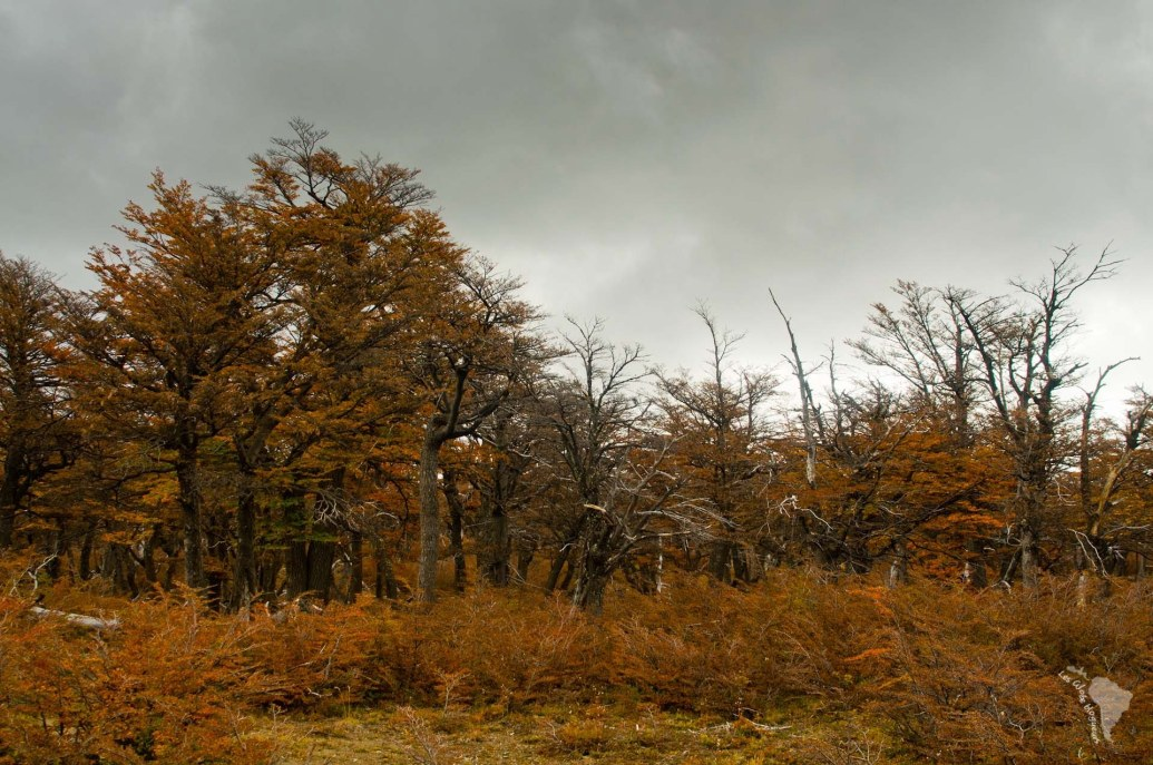 forêt lenguas patagonie