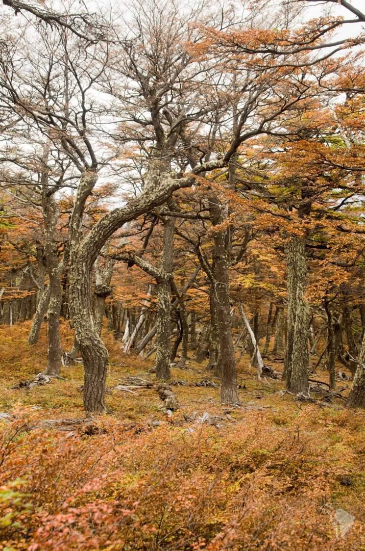 arbre lengua patagonie fitz roy
