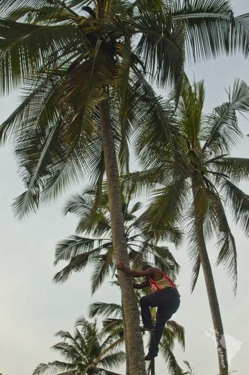 coco palmier tanzanie