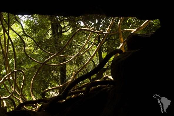 Liane de la grotte