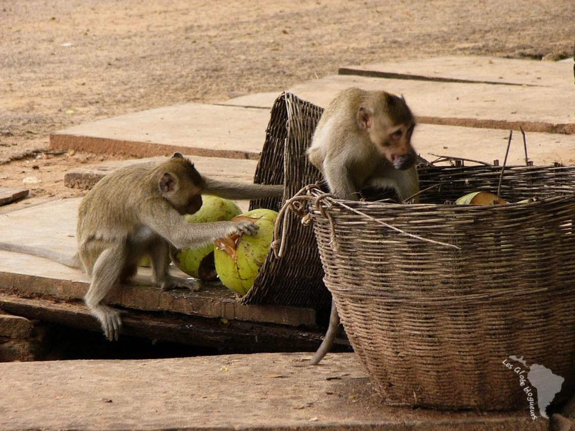 singe cambodge