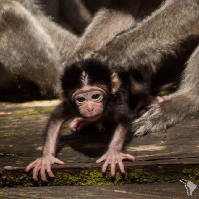 bébé singe