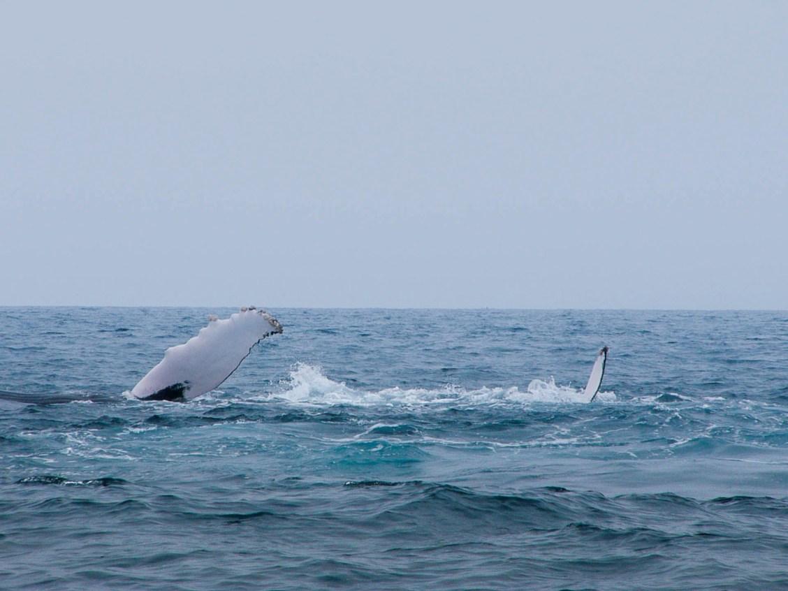 Nageoires d'une baleine et de son petit