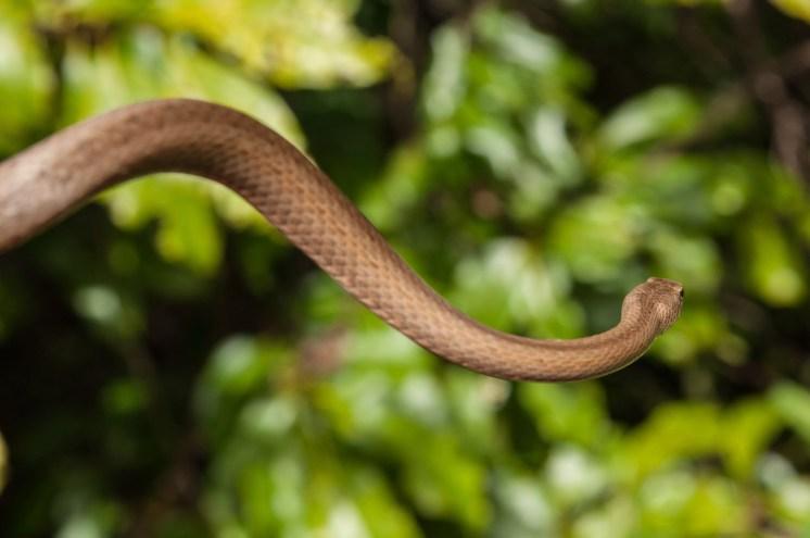 serpent S isalo