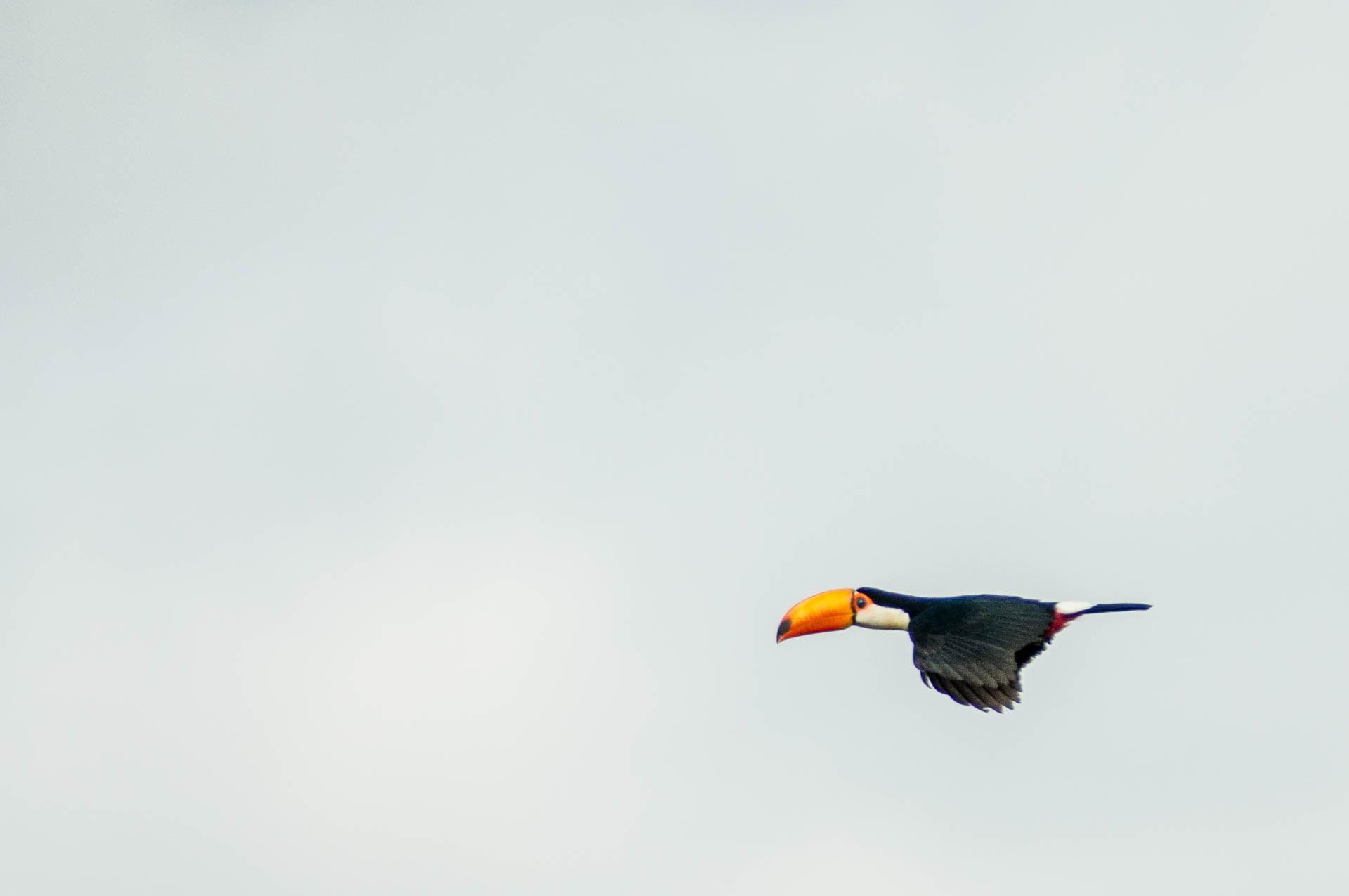 Toucan en plein vol. parc national des chutes d'Iguazu