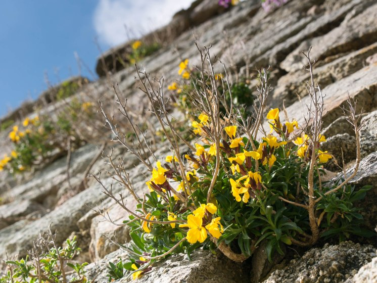 Fort lalatte fleurs jaunes bis