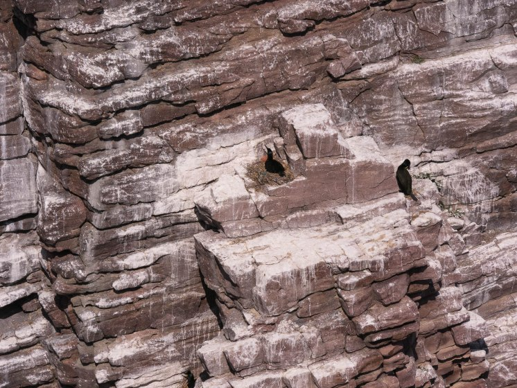 Cormorans huppés