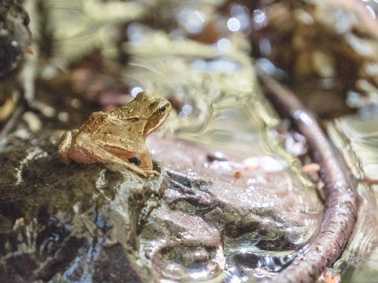 grenouille Ninglinspo