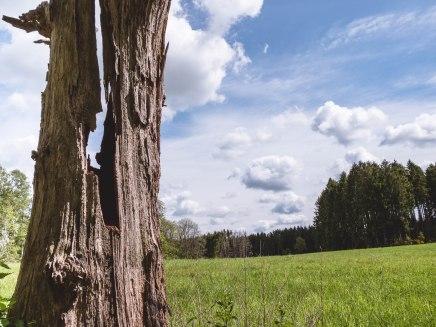 Laforet chêne tordu