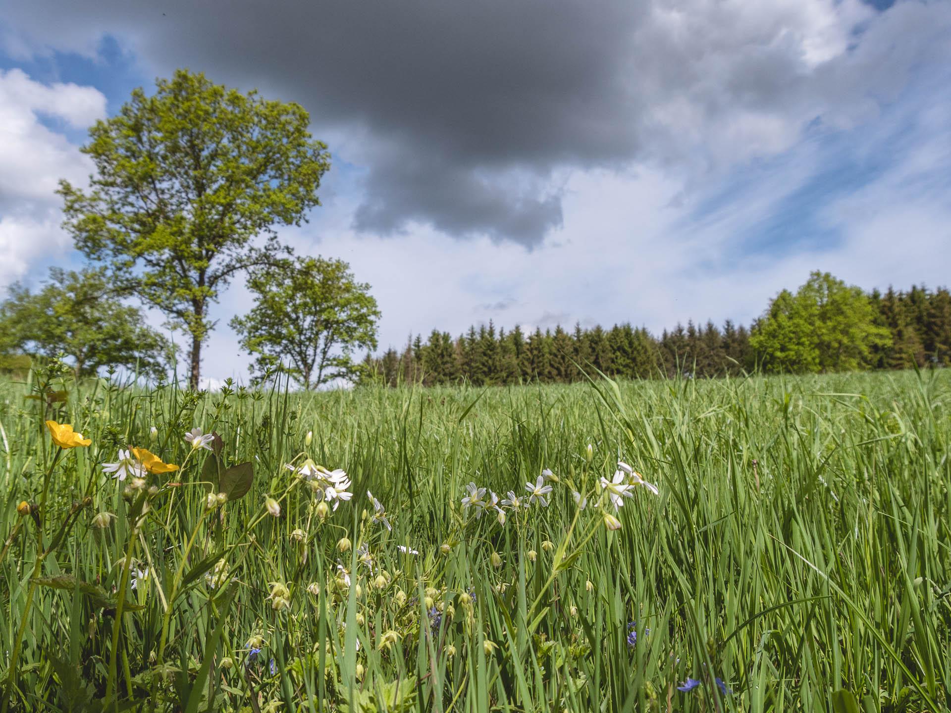 Laforet champs fleurs bis