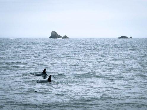 iroise grand dauphin au départ du conquet finistère bretagne