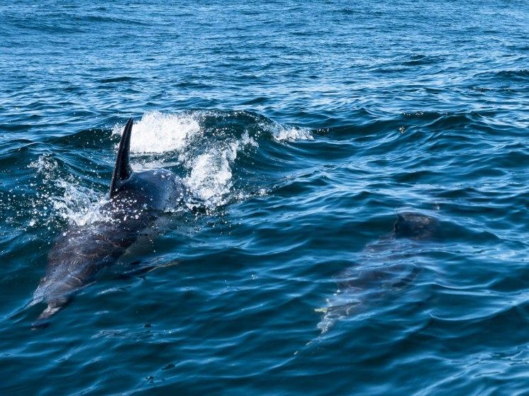 algarve dauphin bis