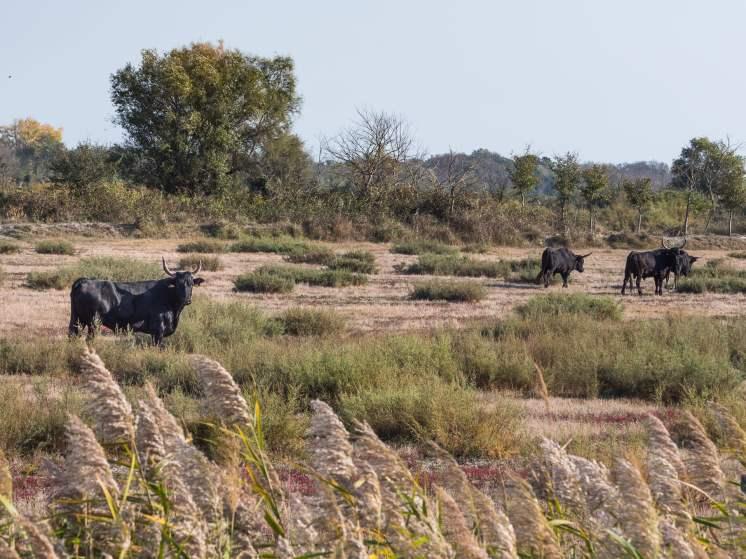 Élevage de taureau en Camargue
