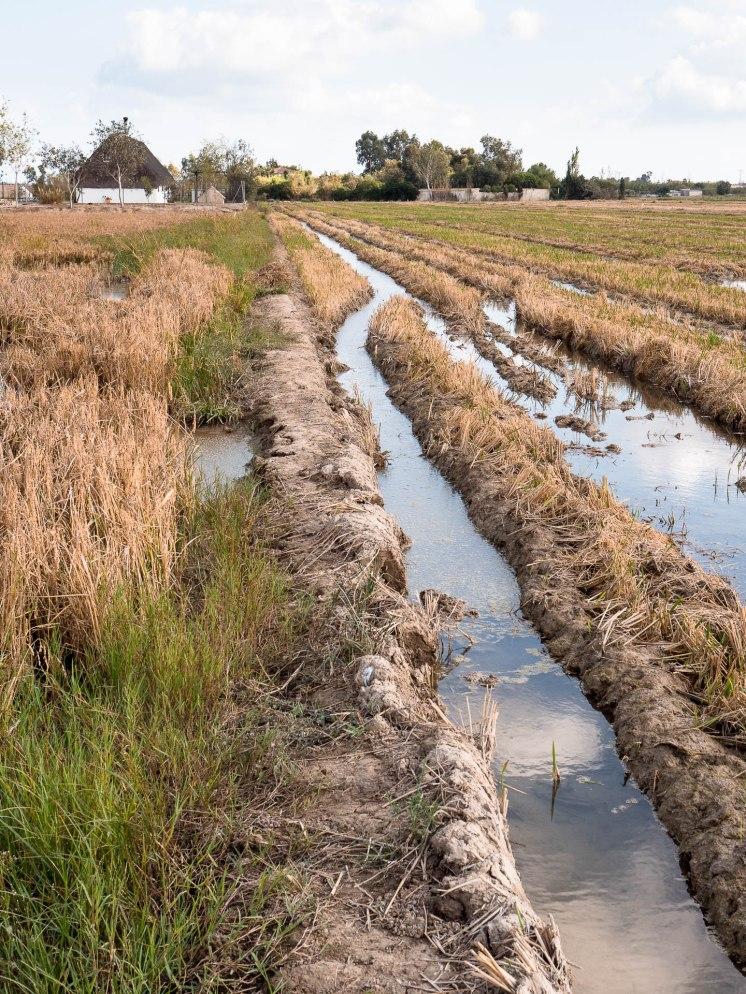 Rizière dans le delta de l'ebre