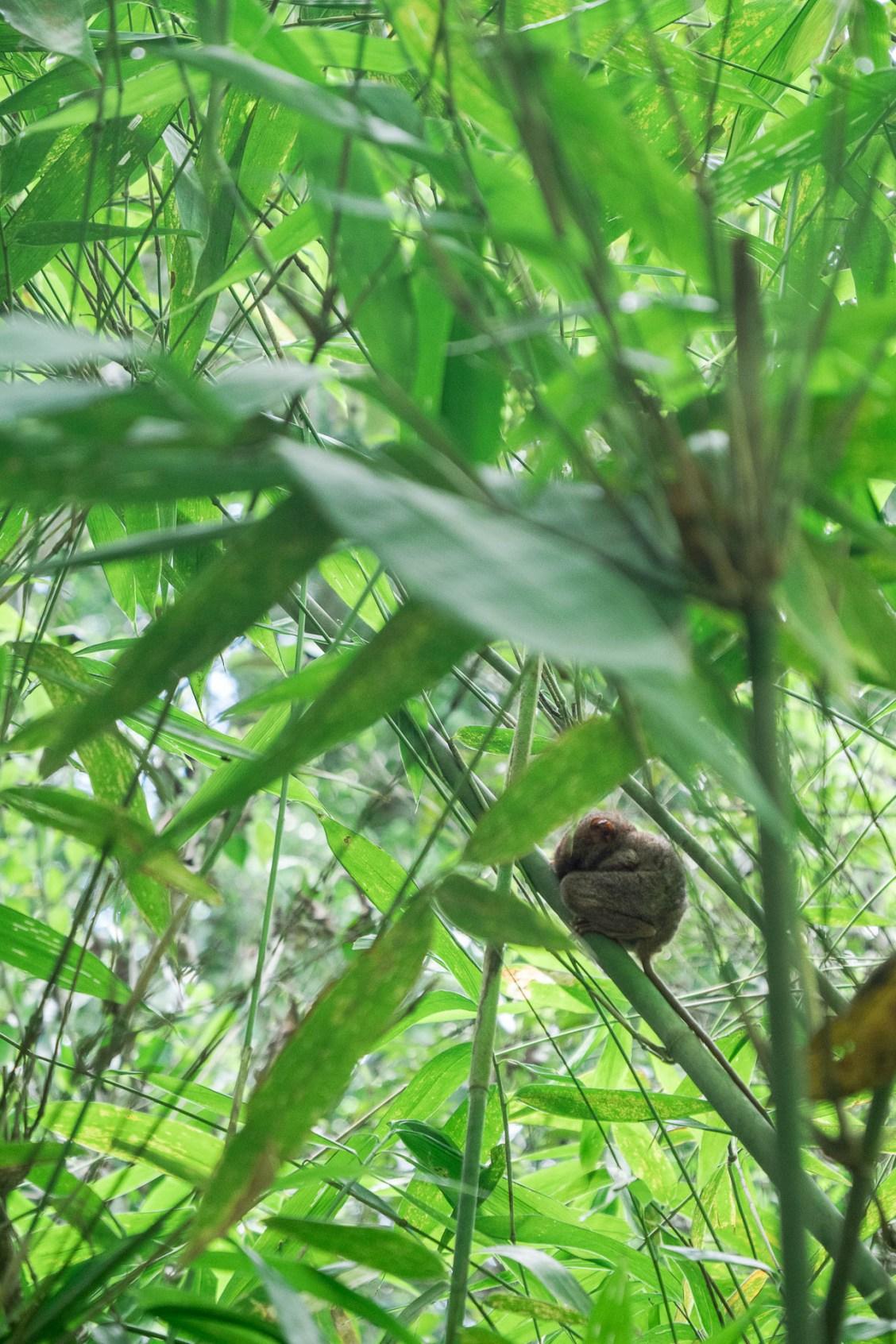 Bohol tarsier boule