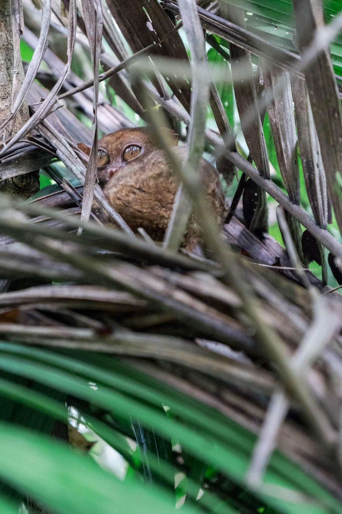 Bohol tarsier feuille