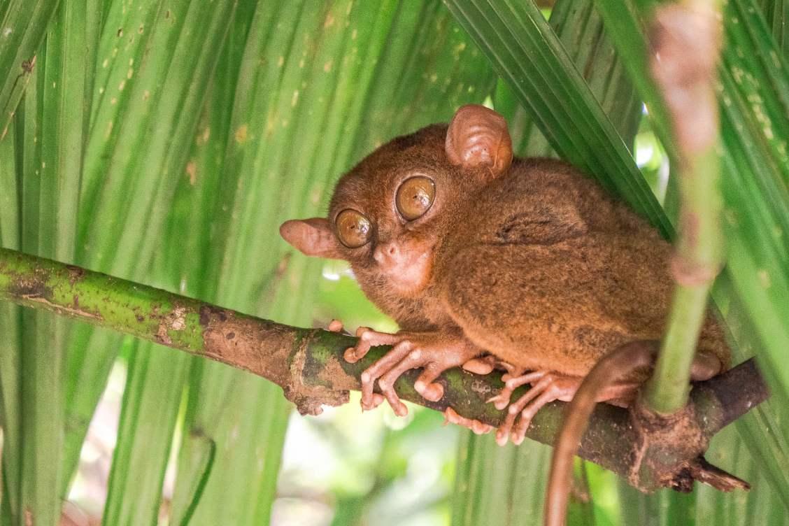 Bohol tarsier portrait