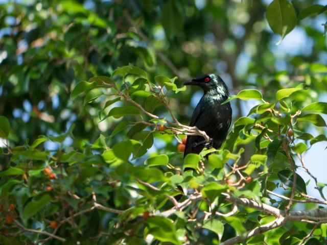 Penang oiseau noir