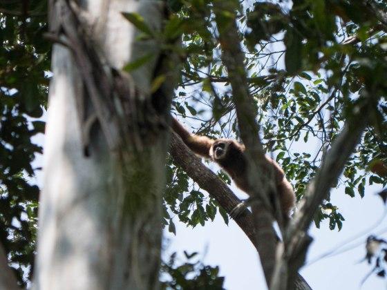 gibbon blanc Bukit lawang