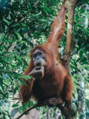 Observer les orang outans à Bukit Lawang en Indonésie