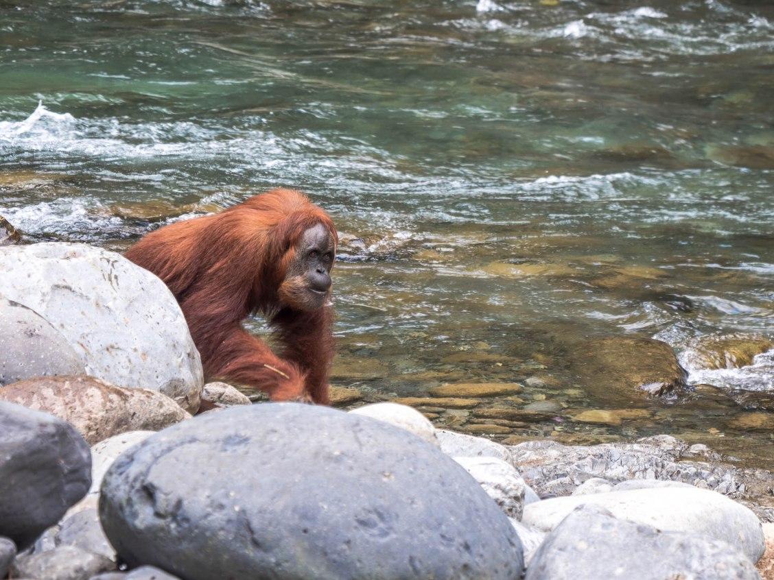 Bukit lawang orang outan rivière