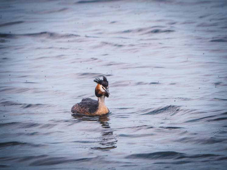 somme marquenterre grebe