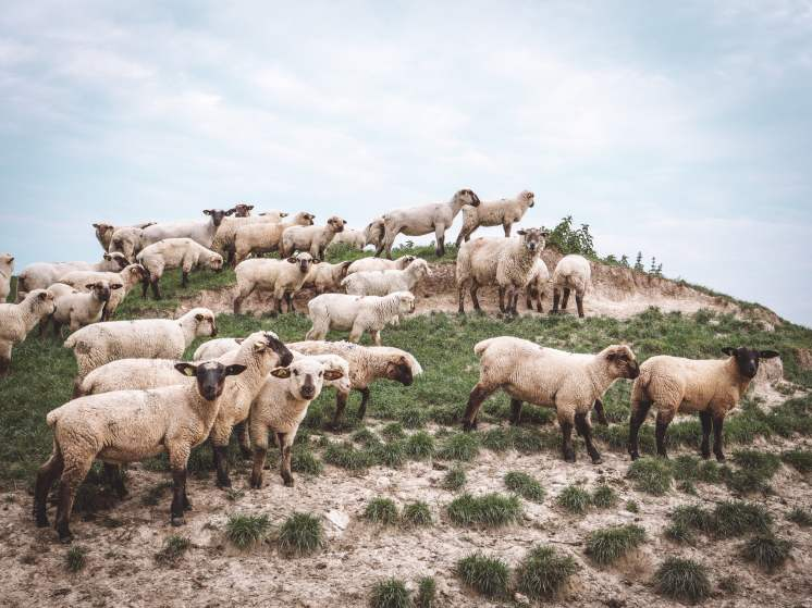 somme moutons-2