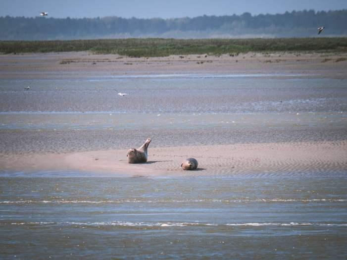 Observation des phoques de la baie de Somme depuis saint valery