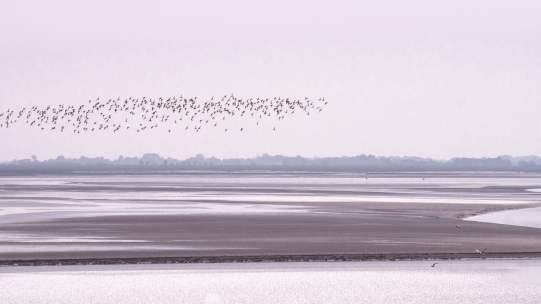 somme vasières oiseaux