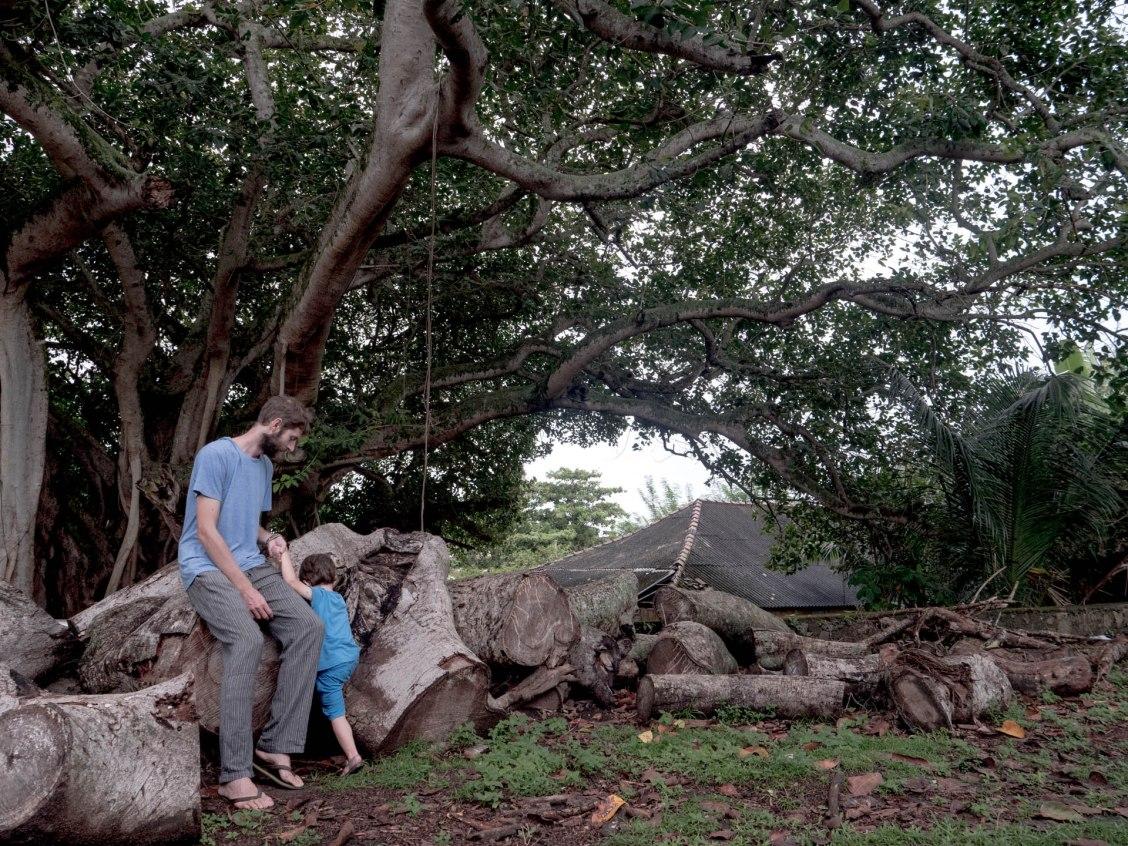 Galle 1 arbre