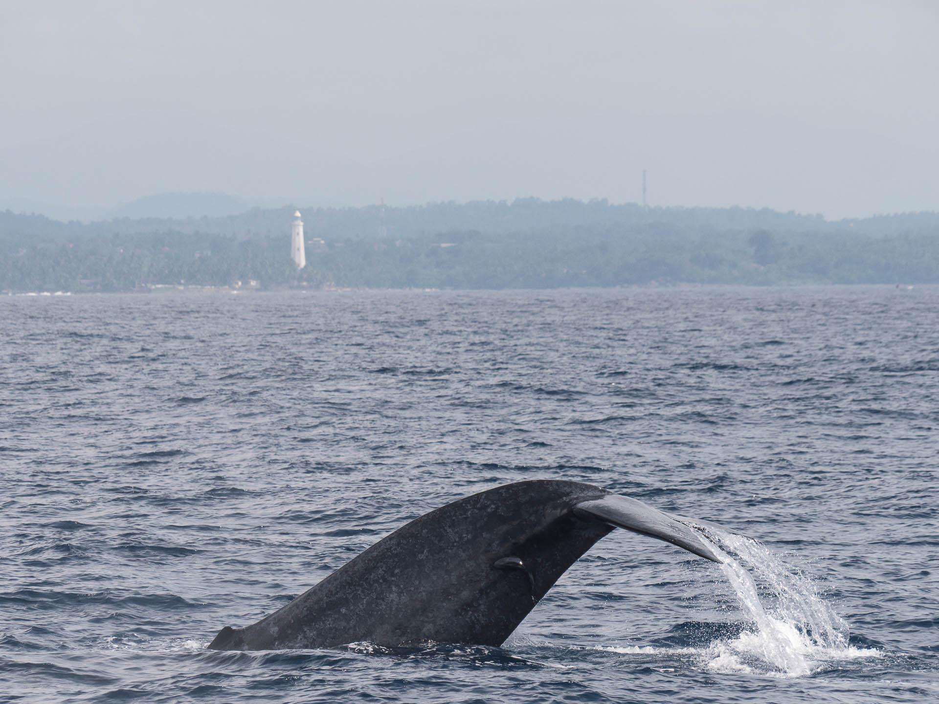mirissa baleine queue bis