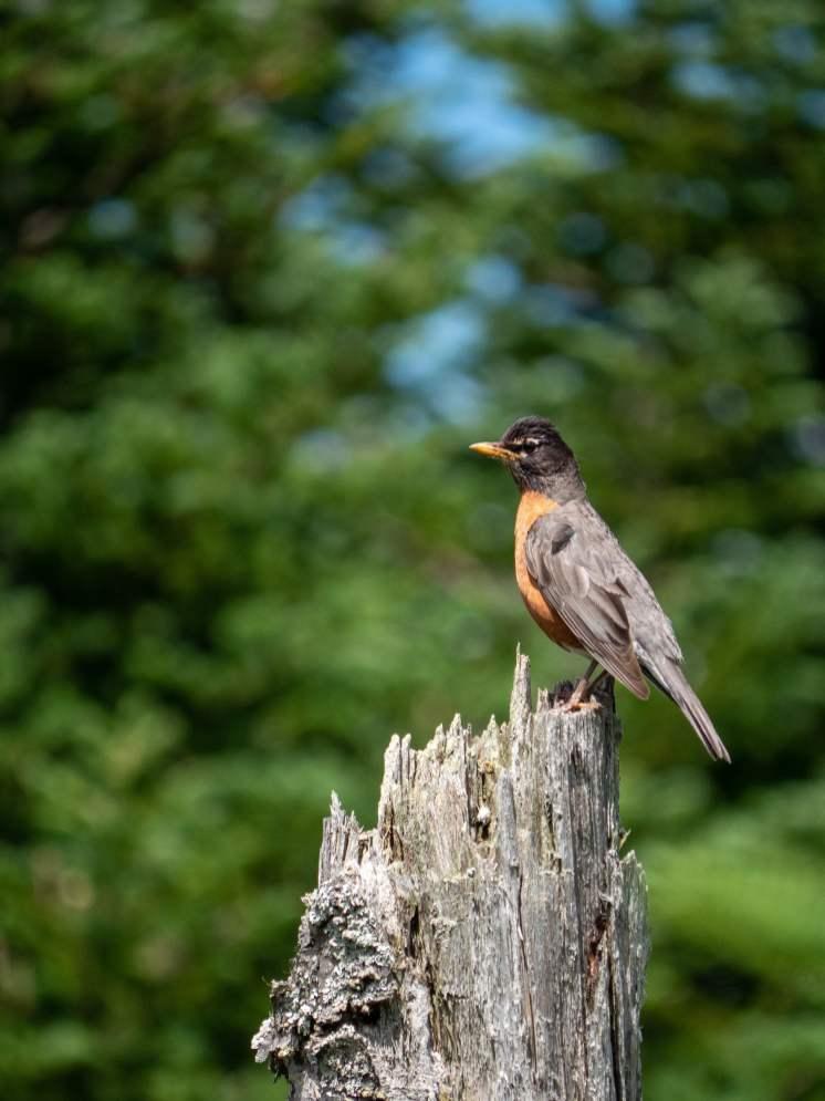 île bonaventure oiseau