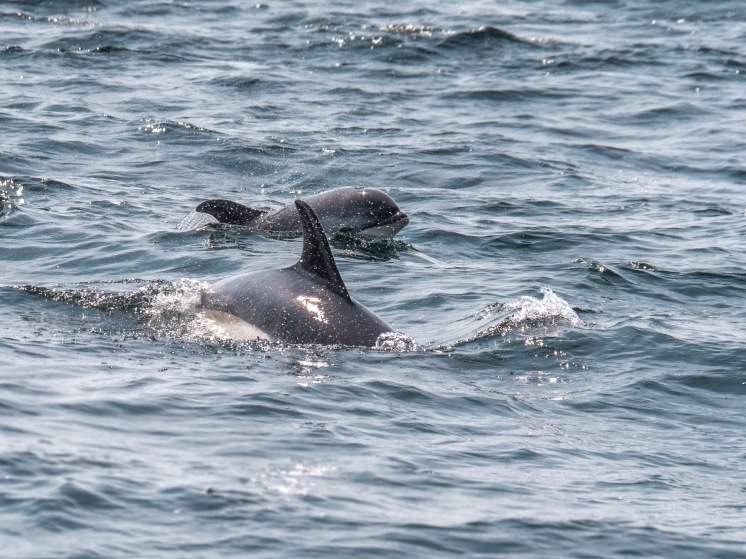 forillon dauphin flanc blanc-2