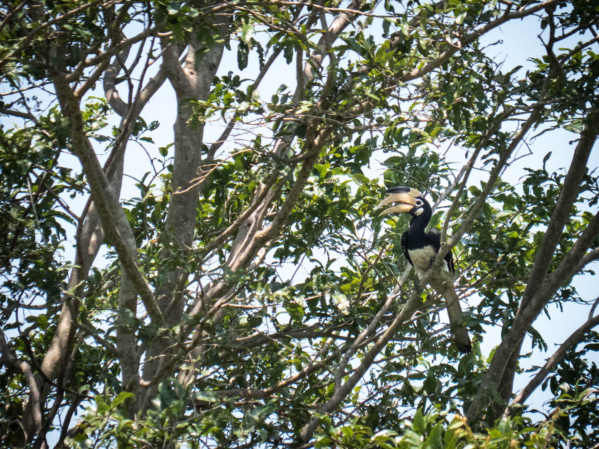 Uda walawe malabar hornbill - Les globe blogueurs - blog voyage nature