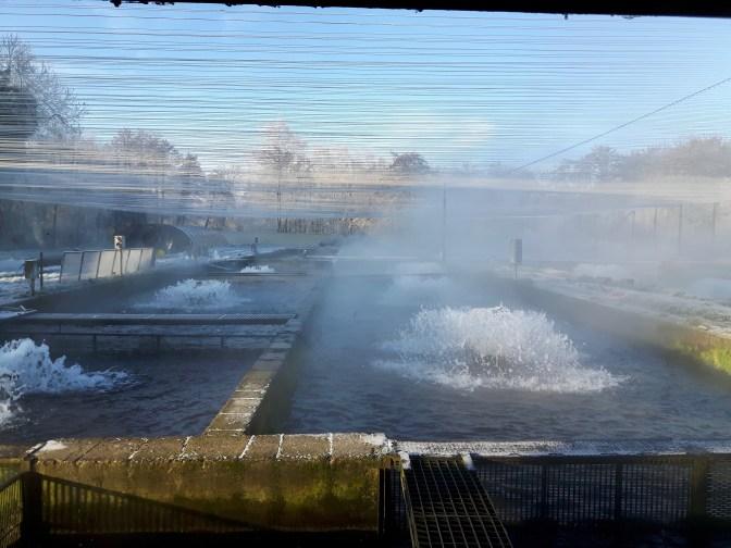 Les bassins bouillonnent...dans une eau à 12°C, les truites poursuivent leur croissance.