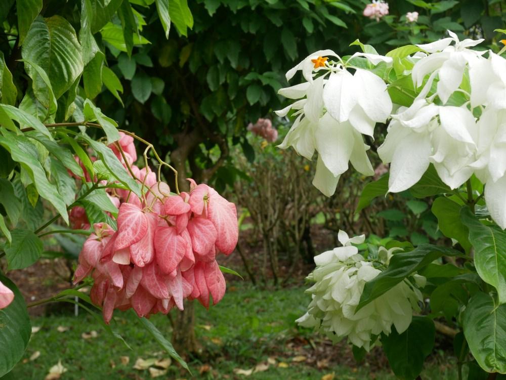 Mussaenda rose et blanche