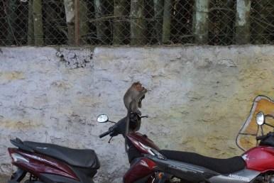 Un macaque découvrant son reflet dans le rétroviseur d'un scooter