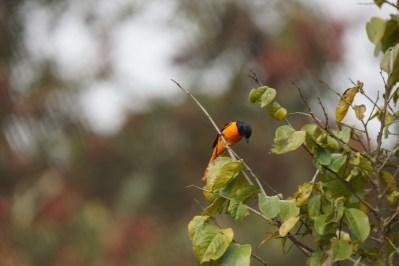Cet oiseau est apparemment assez rare; le mâle est jaune vif, la femelle orange