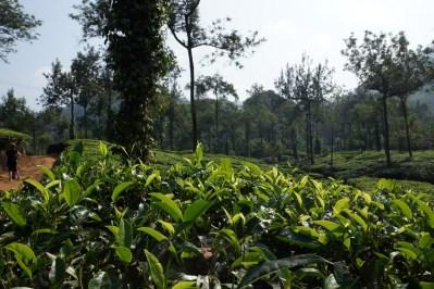 Les feuilles vertes du bas sont utilisées pour le thé noir, les dernières feuilles du haut, plus tendres, sont pour le thé vert, et le bourgeon sert au thé blanc