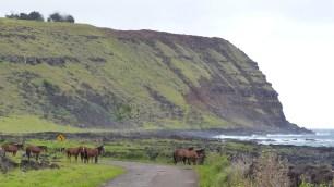 Chevaux en liberté, devant les falaises du volcan Poike