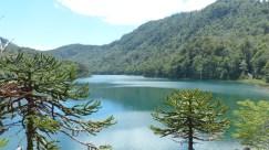 Un peu plus haut, on rencontre des Araucarias (abords du Lago Verde)