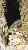 Lézard caché dans un tronc
