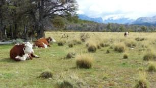 Dure, la vie de vache sauvage