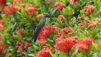 Un colibri se repose... juste 2 secondes!